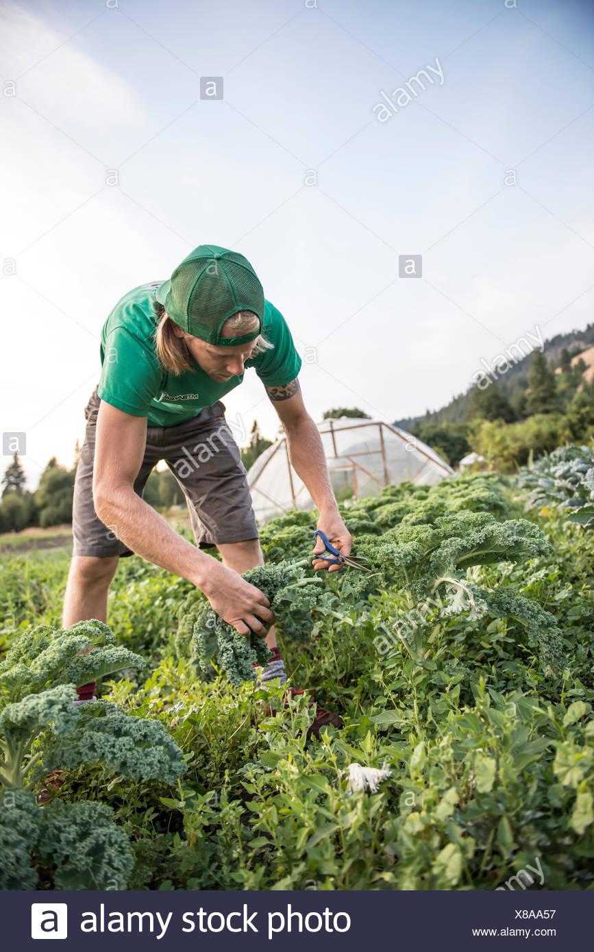 Havesting kale on an organic farm. - Stock Image