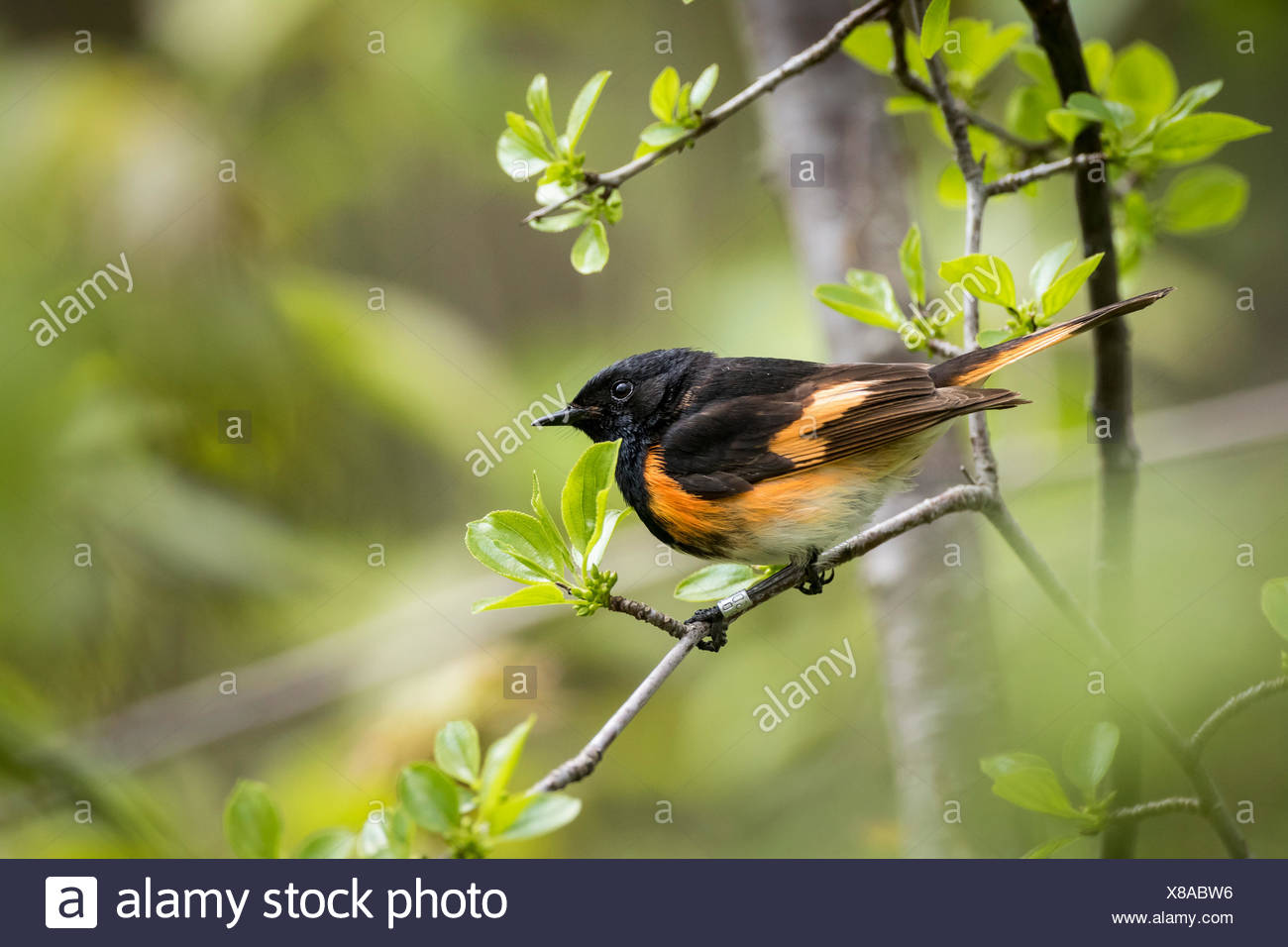 Male American Redstart (Setophaga ruticilla), Prince Edward Point National Wildlife Area, Ontario, Canada Stock Photo