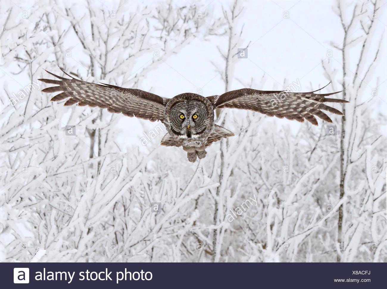Great Gray Owl, Strix nebulosa, in flight at the Nisbet Forest, Saskatchewan, Canada - Stock Image