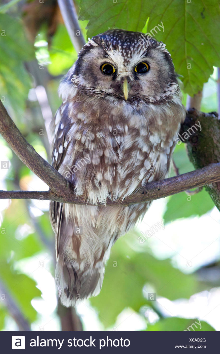 The boreal owl (Aegolius funereus) is a nocturn bird of prey that lives in the woods in the alps. Park of Baviera Bayerischewald. Germany Europe Stock Photo