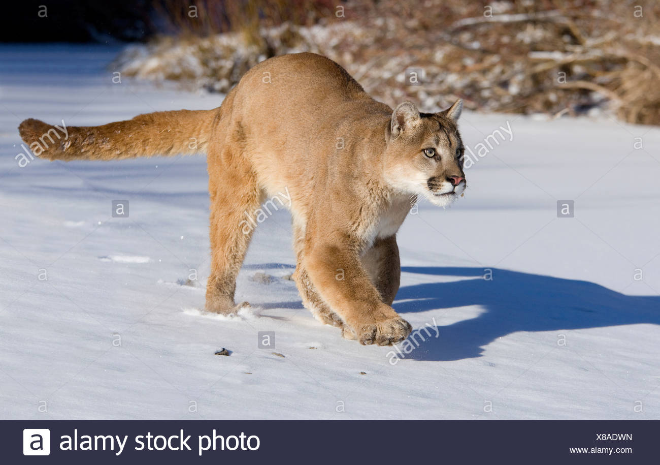 882490809a2f5 Mountain lion (Puma concolor) walking in a snow covered field Stock ...