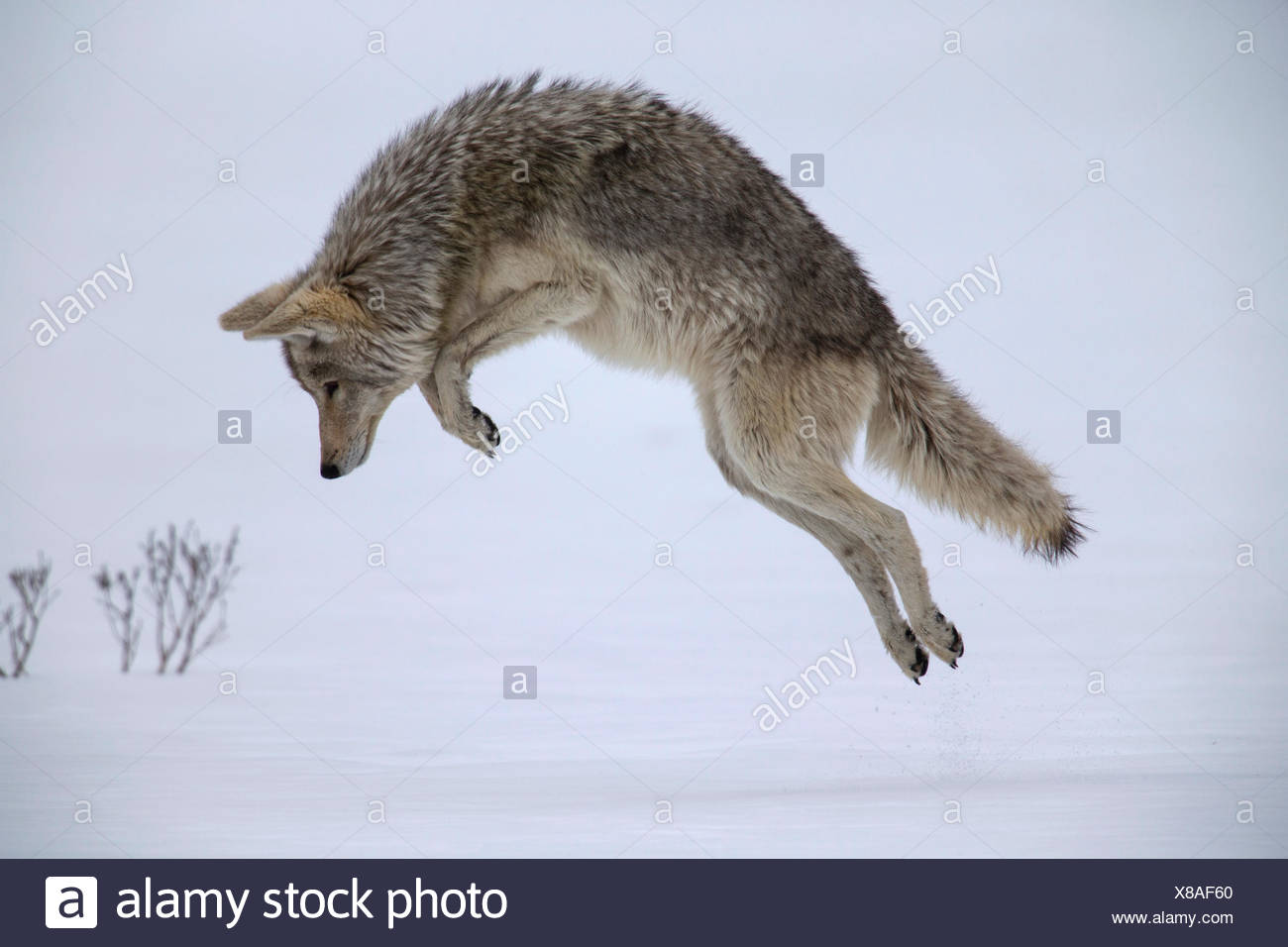 A coyote hunting meadow voles in Yellowstone National Park's Hayden Valley. - Stock Image