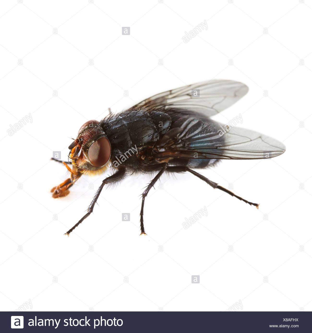 Bluebottle fly - Stock Image