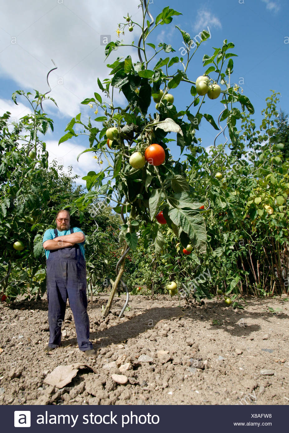 Farmer standing beside an oversized tomato plant, genetically modified food Stock Photo
