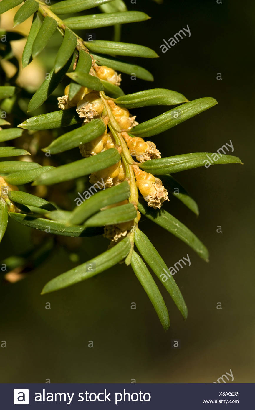common yew (Taxus baccata), branch with male flowers, Germany - Stock Image