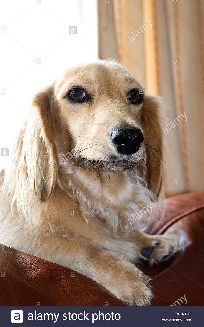 fawn coloured long haired Daschund on back of sofa - Stock Image