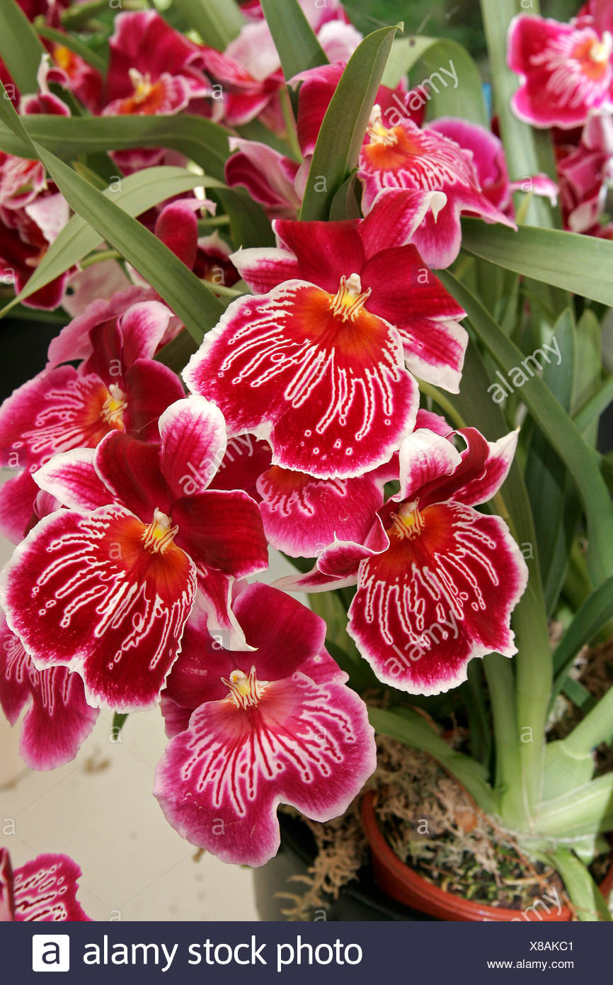 Garden Ornamental Plants Rot Flower Orchid Plant Red Miltonia Hybride Sorte Stock Photo Alamy