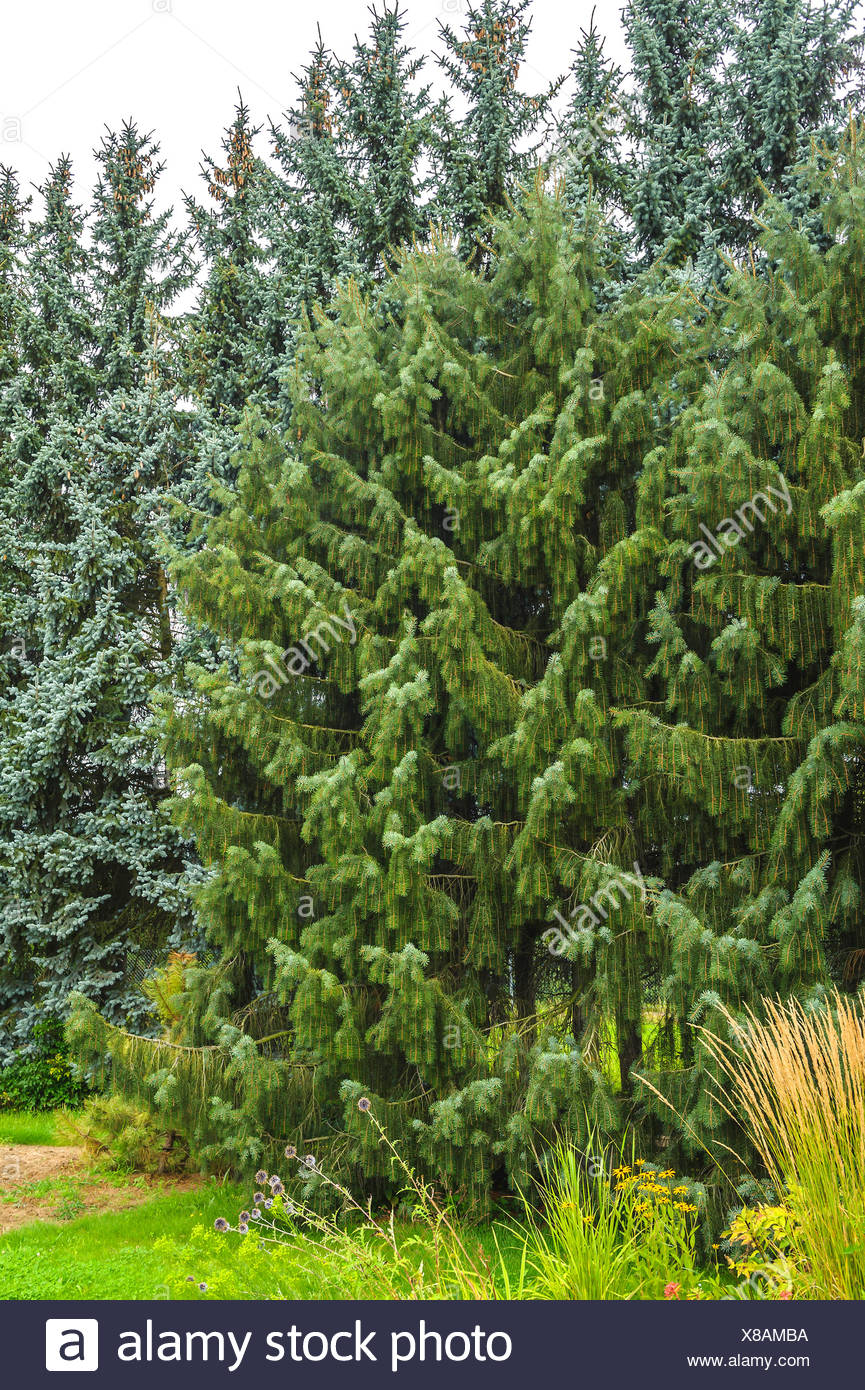 Brewer spruce, Brewer's Weeping  (Picea breweriana), Germany, Saxony Stock Photo