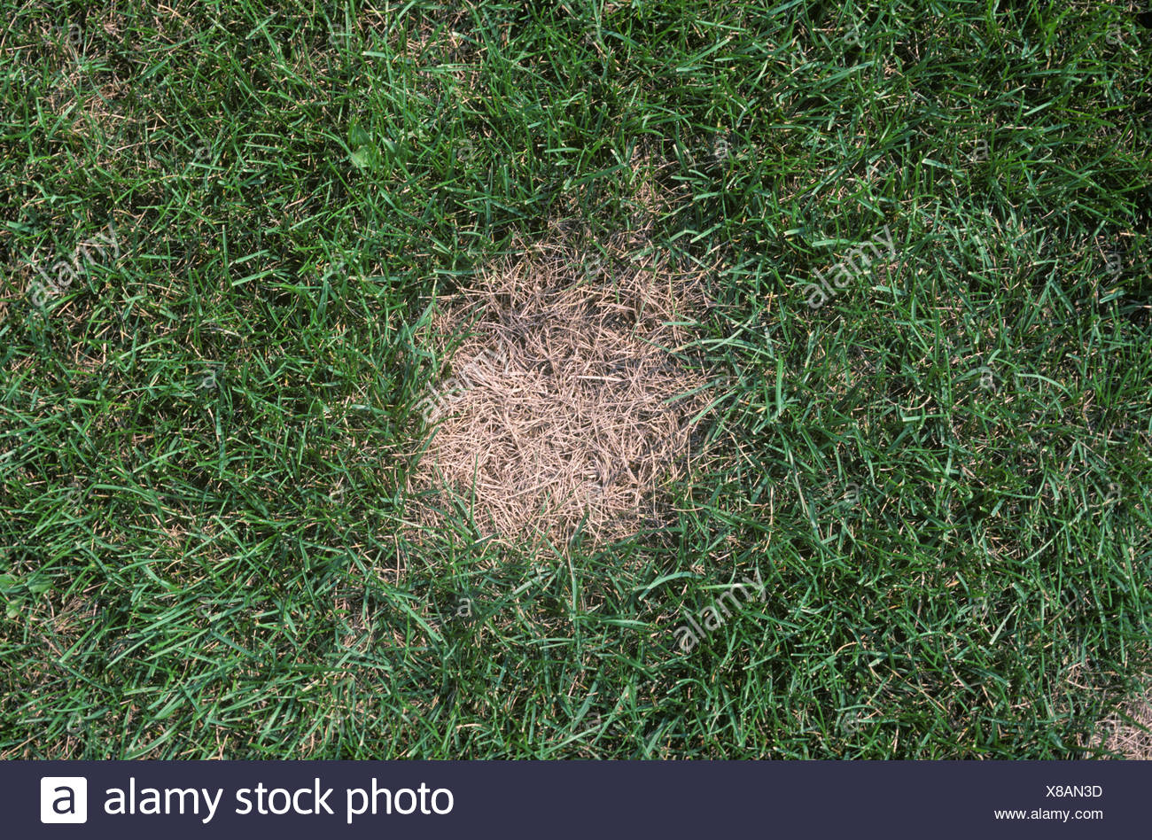 Summer patch Magnaporthe poae in Poa spp lawn grass - Stock Image