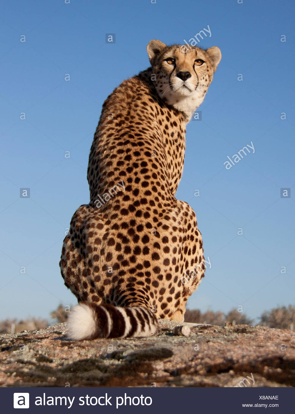 over the shoulder view cheetah - Stock Image