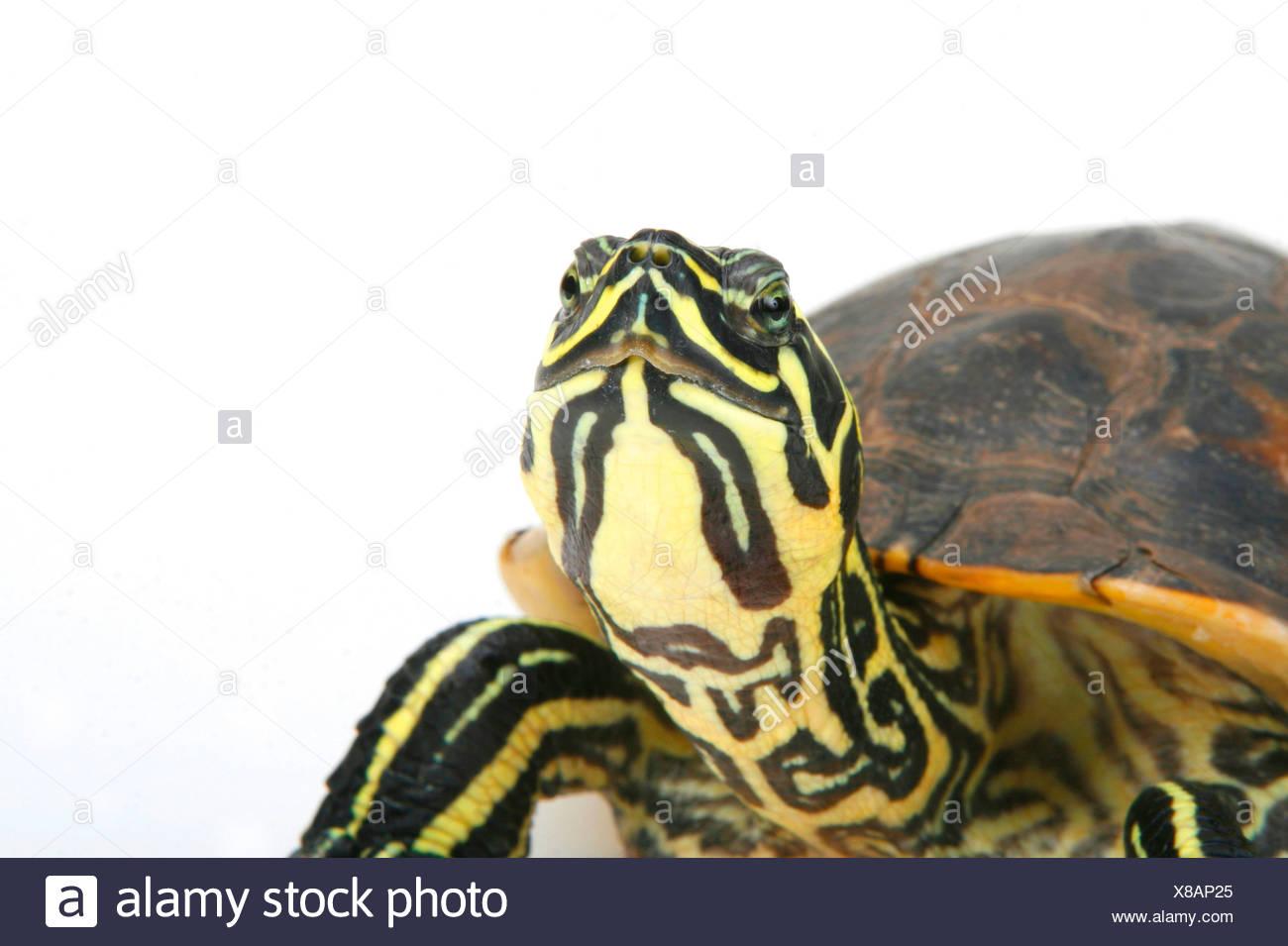 Florida Redbelly Turtle Stock Photo