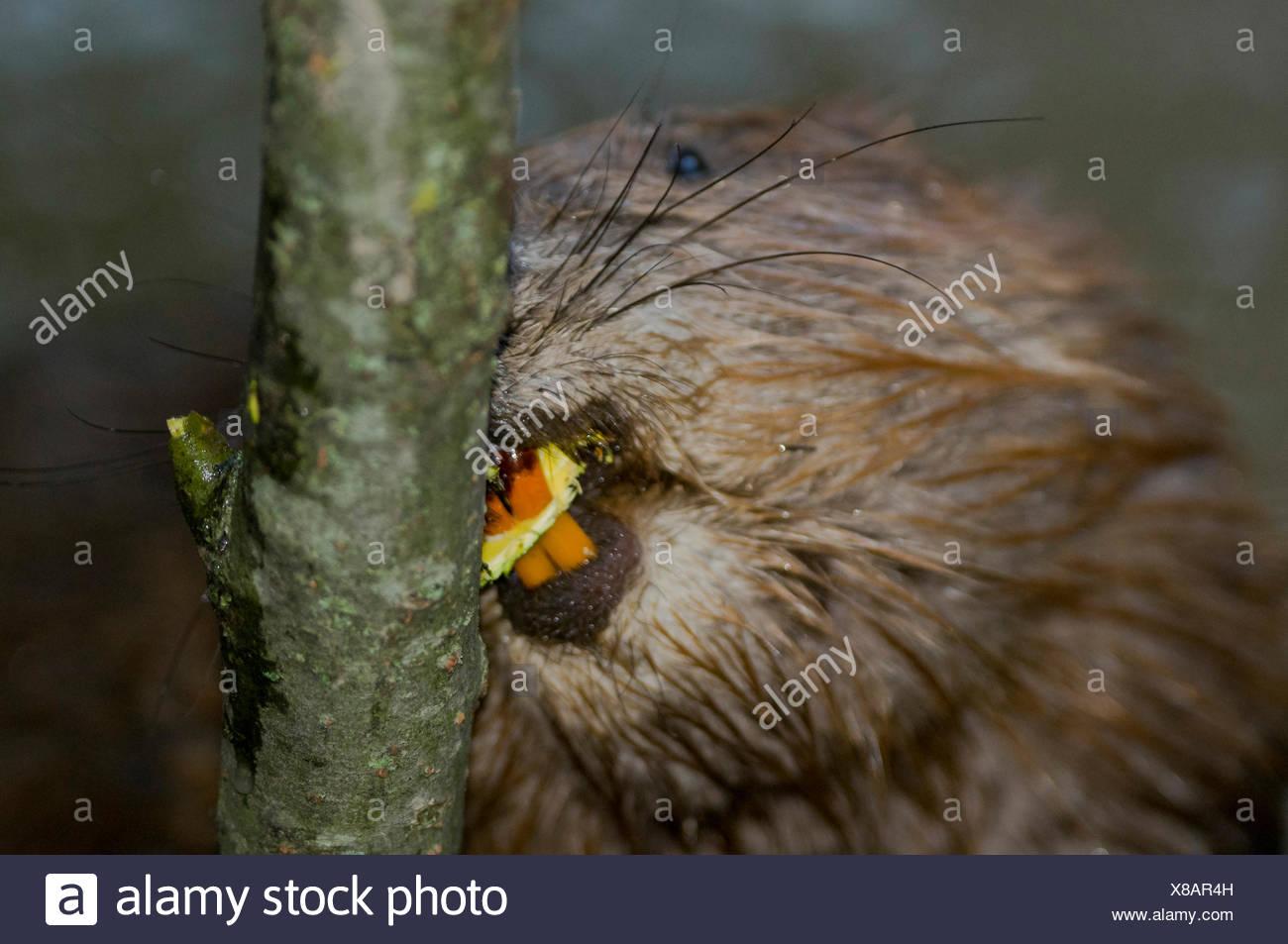 European Beaver, incisors, Rosenheim, Bavaria, Germany, Europe / (Castor fiber) - Stock Image
