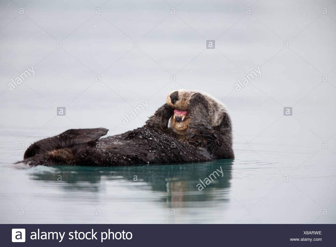 Sea otter floating on back and rubbing cheeks with paws exposing teeth, Prince William Sound, Southcentral Alaska, Winter - Stock Image