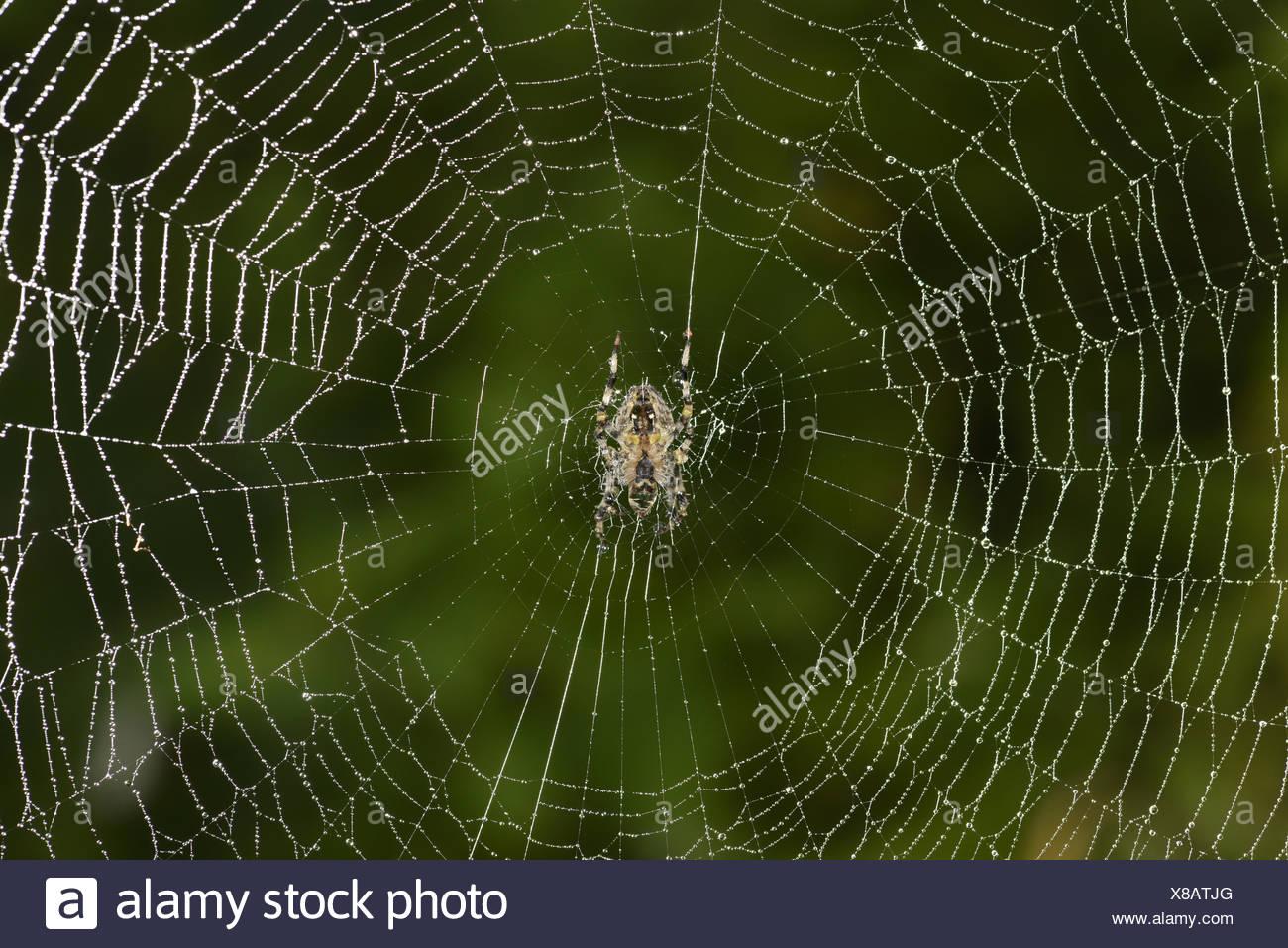 Garden Spider - Araneus diadematus - Stock Image