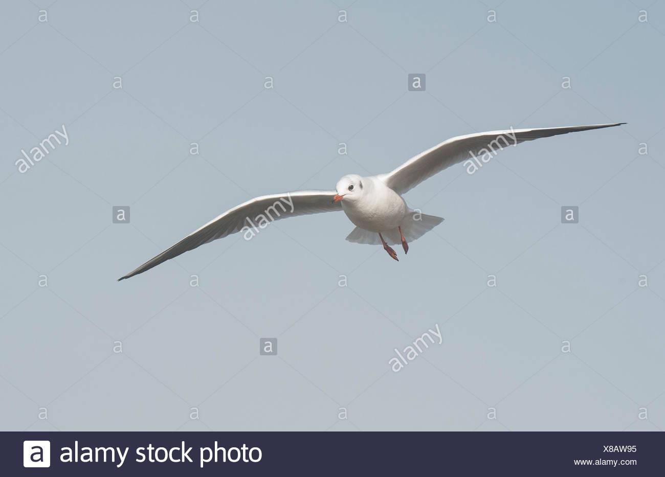Black Headed Gull Chroicocephalus Ridibundus Bulgaria - Stock Image