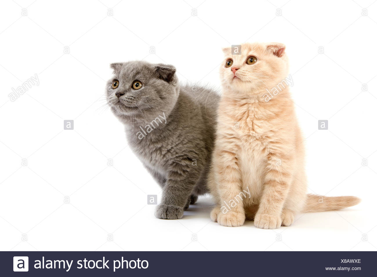 Blue Scottish Fold Domestic Cat, Cream Scottish Fold, Black Tortoise-Shell British Shorthair and Black British Shorthair, 2 Months Old Kittens - Stock Image