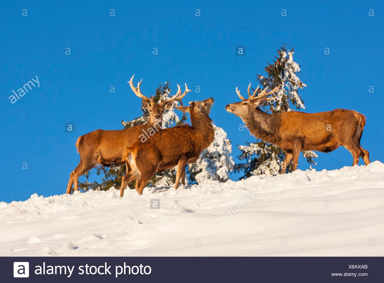 red deer (Cervus elaphus), three red deers in snowy landscape, Switzerland, Sankt Gallen - Stock Image