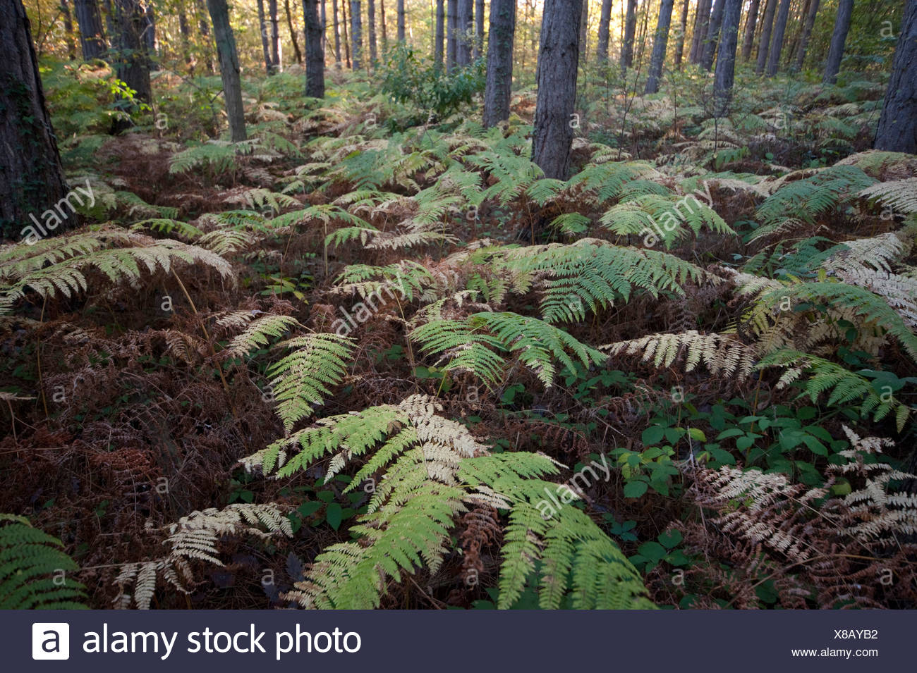 Broad Buckler FernThornden Woodlands Kent UK Stock Photo