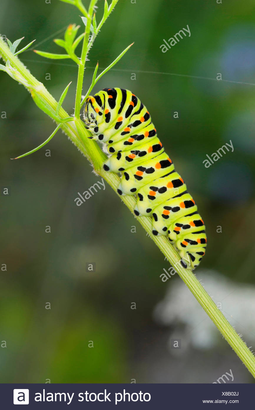 swallowtail (Papilio machaon), caterpillar feeds on Daucus carota, Germany - Stock Image