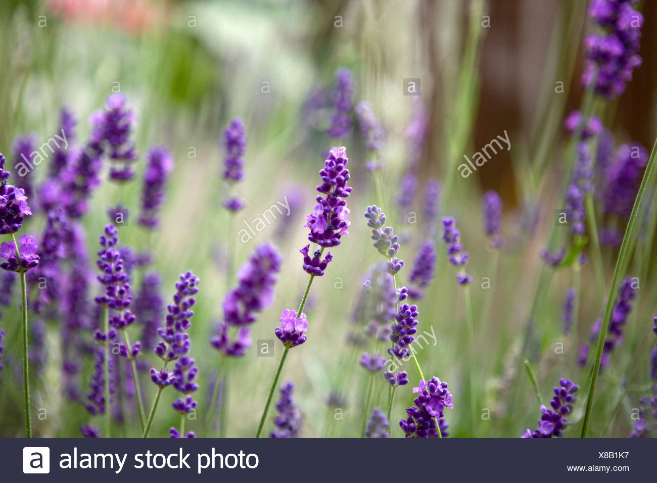 A Lavender plant - Stock Image