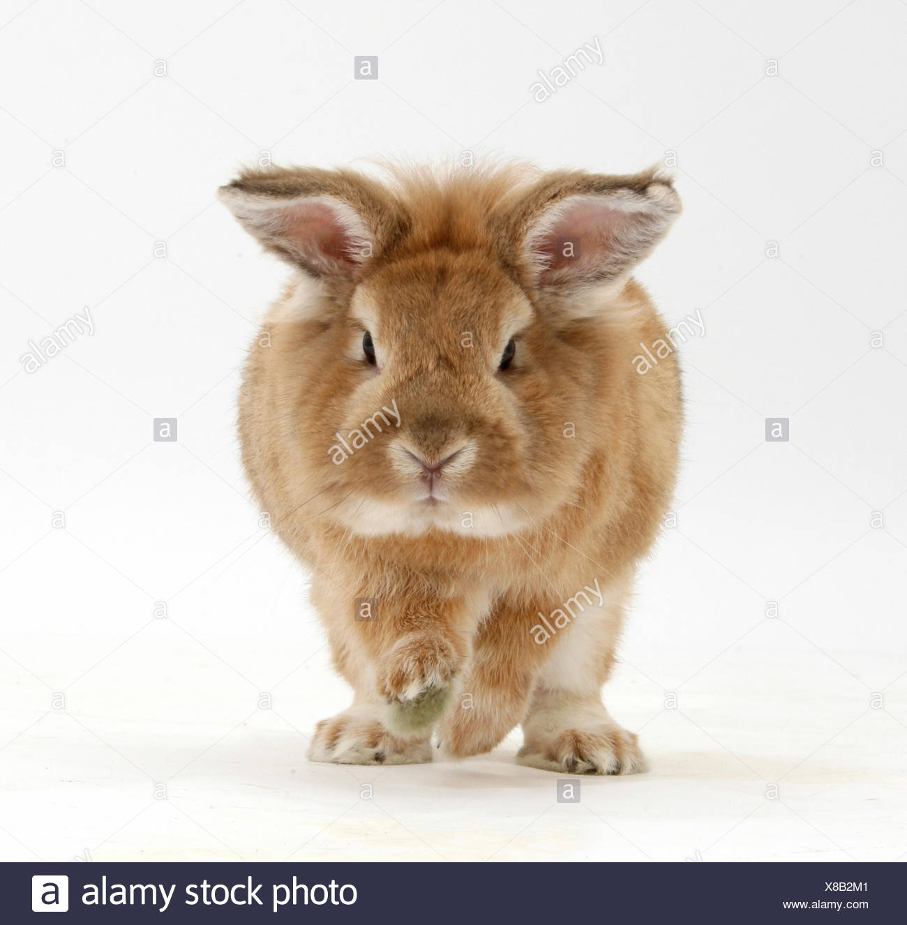 Lionhead x Lop rabbit, Tedson, running, against white background - Stock Image