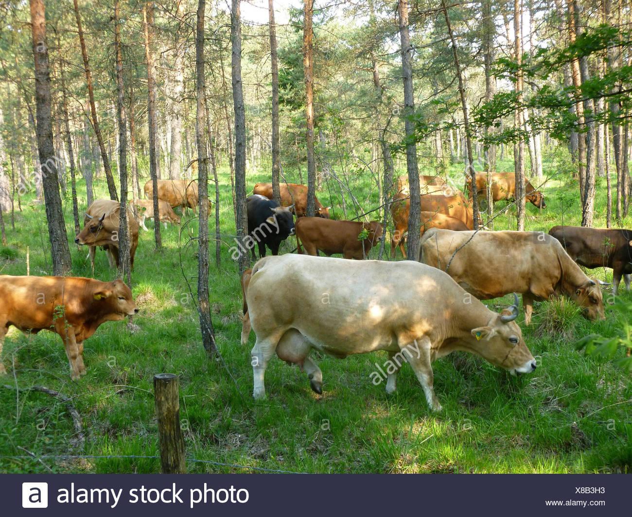 Germany, Upper Bavaria, Pupplinger meadow, cattle, - Stock Image