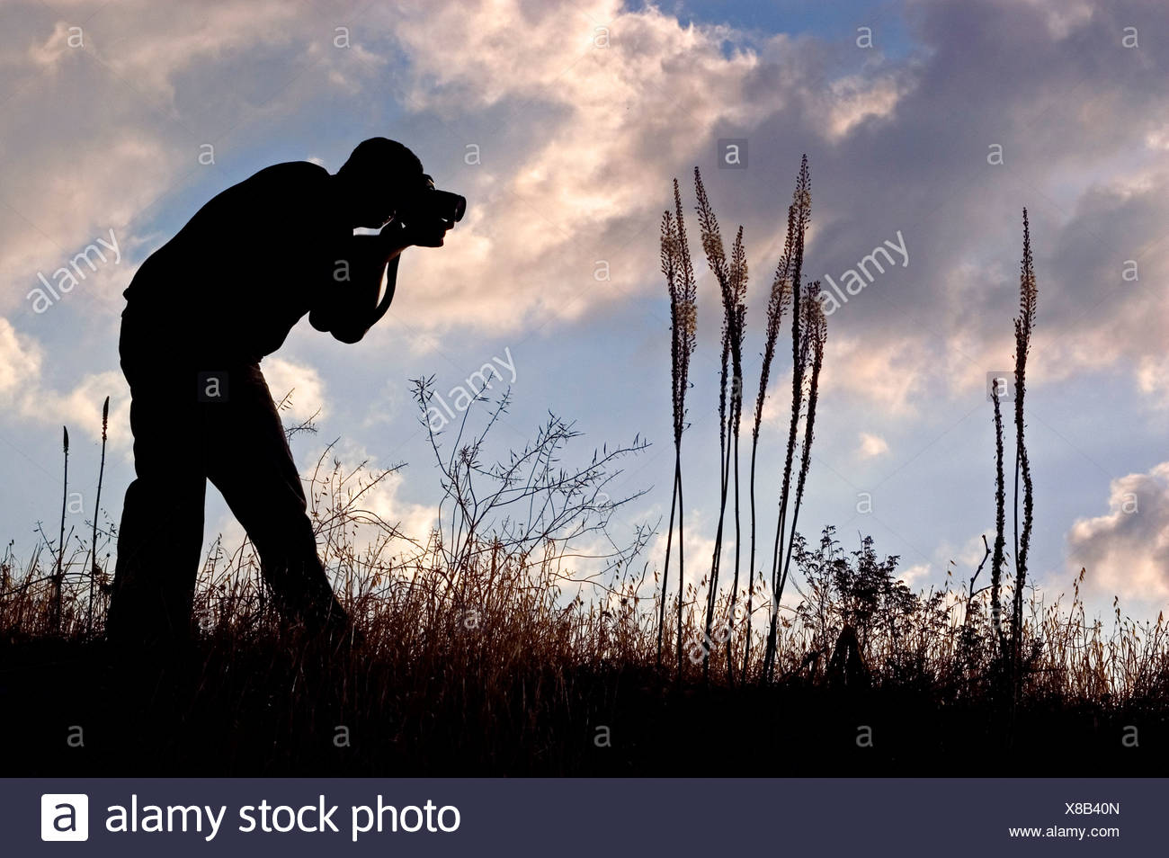 silhouette of a nature photographer photographing blooming Urginea maritima - Stock Image