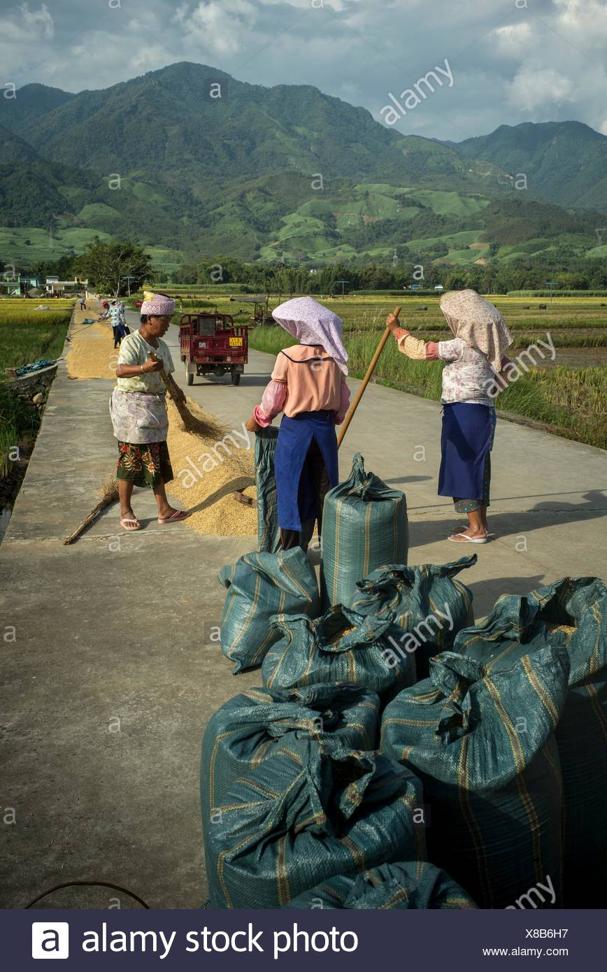 Dai people pack freshly threshed rice into sacks. - Stock Image