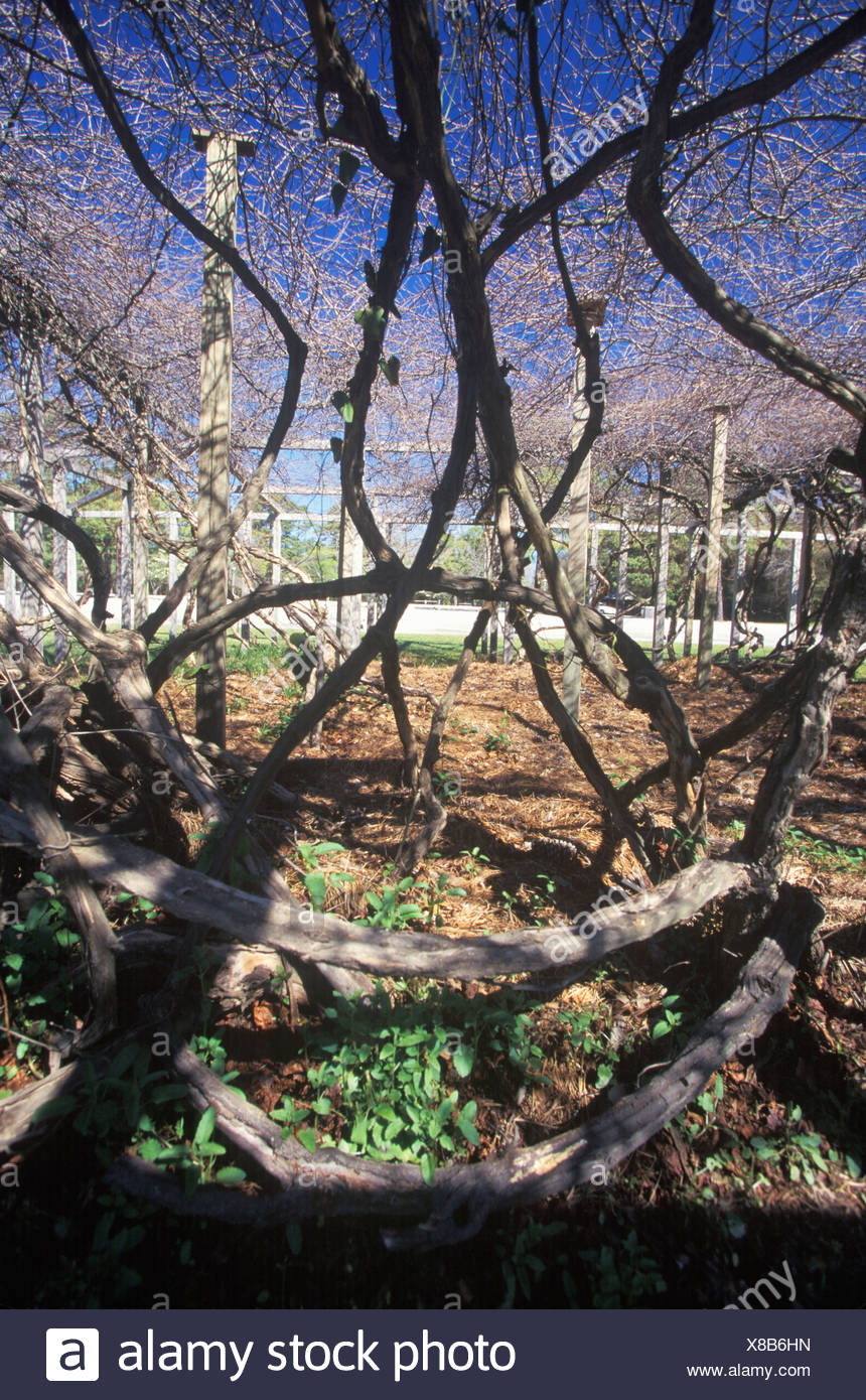 Mother Vine, planted by  first English colonists at Roanoke, NC - Stock Image