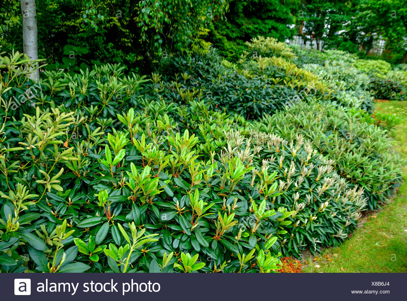 Yak Rhododendron, Yakushima Rhododendron (Rhododendron yakushimanum), in rhododendron garden - Stock Image