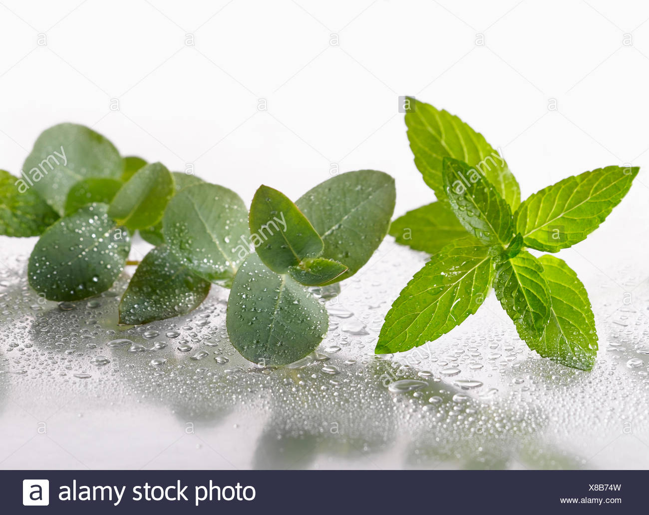 Peppermint, Mentha piperita sprig arranged with Eucalyptus globulus leaves on silver background, and spritzed with water. Selective focus. - Stock Image