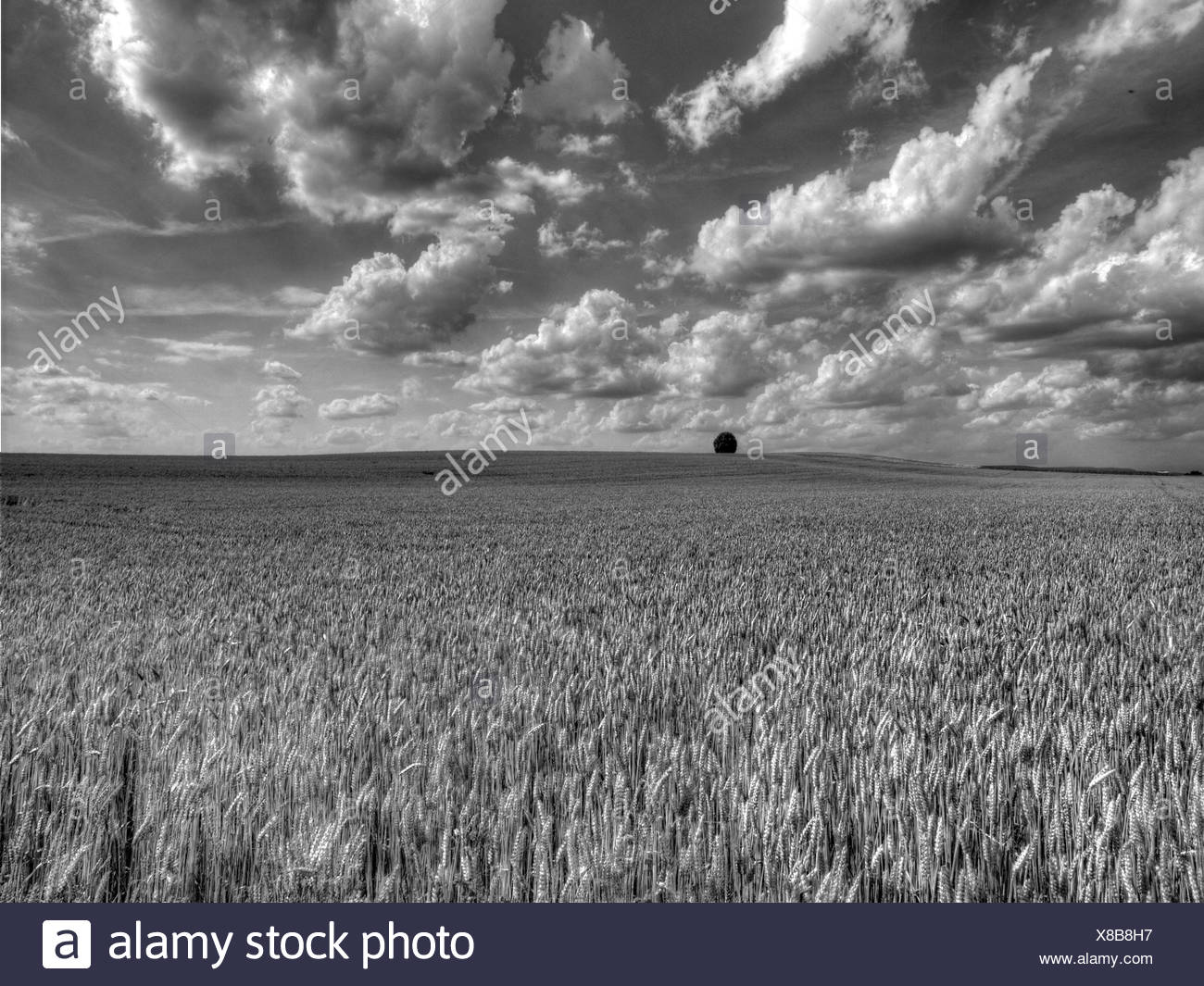 Lime-tree, black-and-white, wheat field, clouds, Oberglatt, wheat, field, canton Zurich, Switzerland - Stock Image
