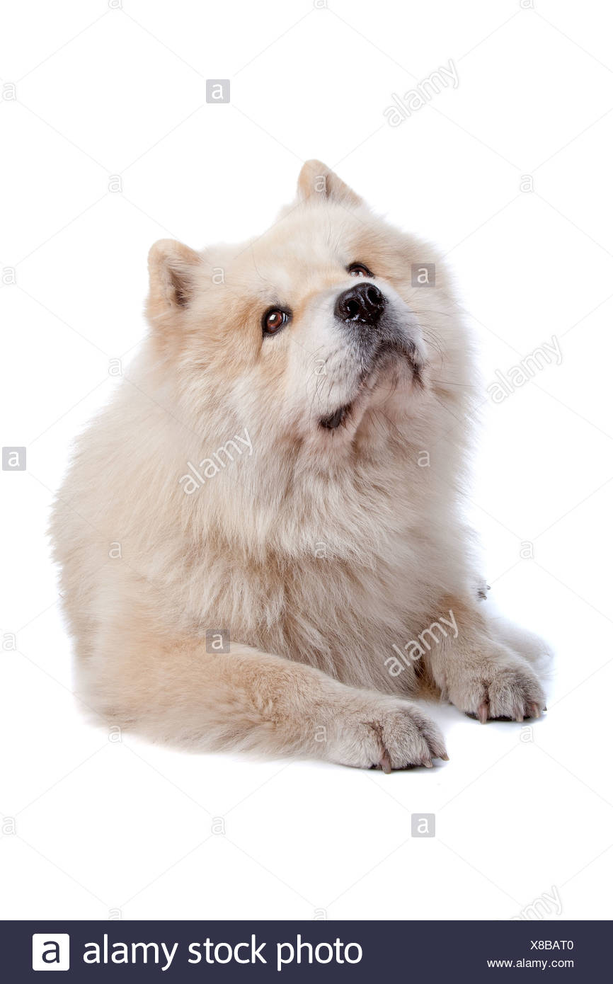 Cute mixed breed dog Chow-Chow and Samoyed lying and looking up, isolated on a white background - Stock Image