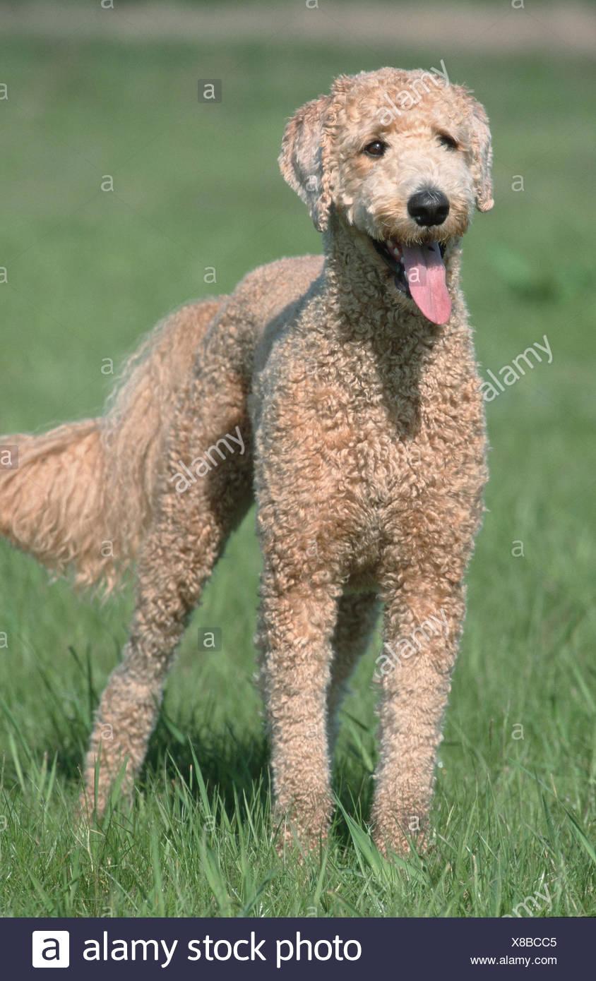 Standard Poodle / Grosspudel / Koenigspudel Stock Photo