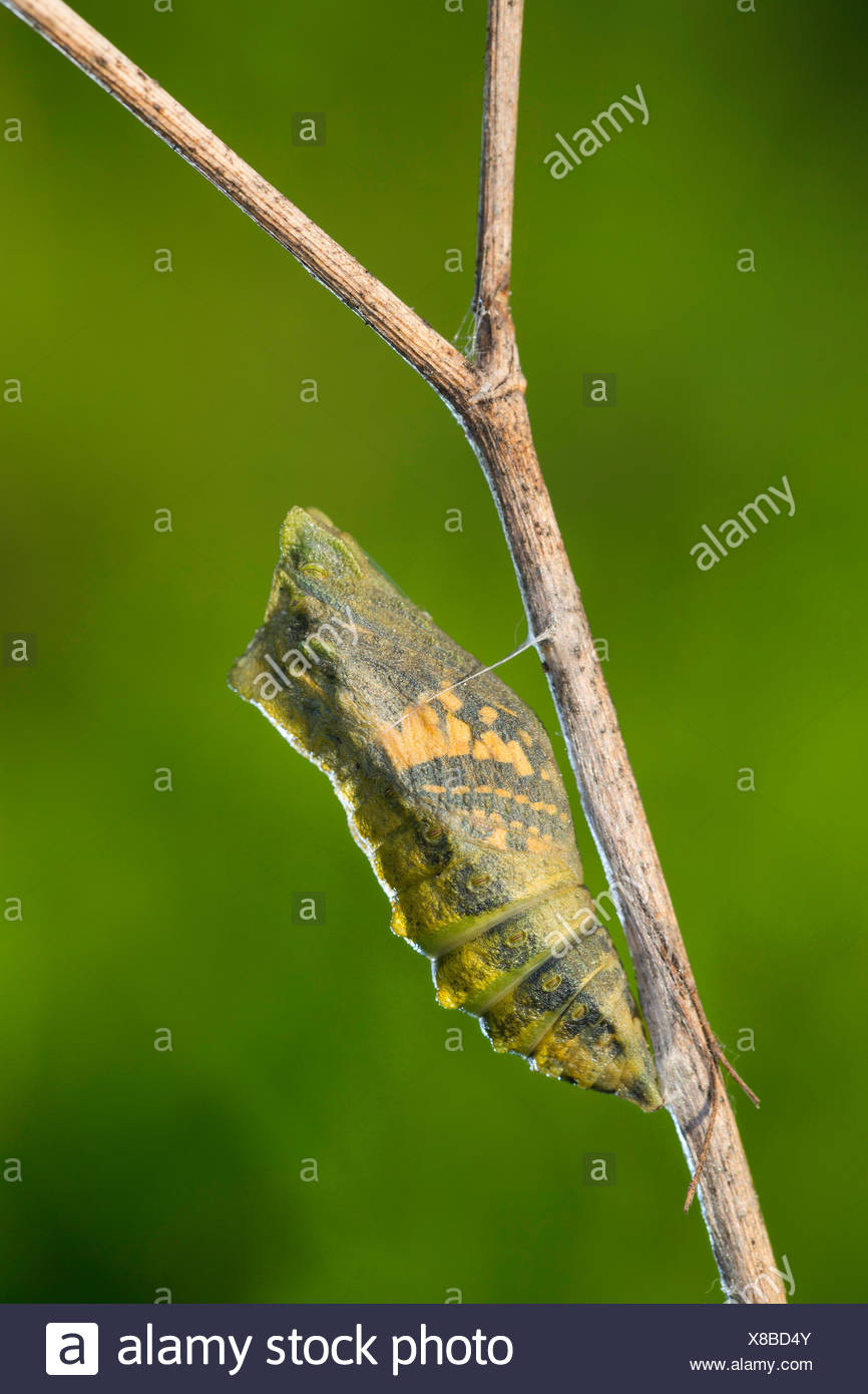 swallowtail (Papilio machaon), pupa on the verge of hatching, butterfly shines through, Germany - Stock Image