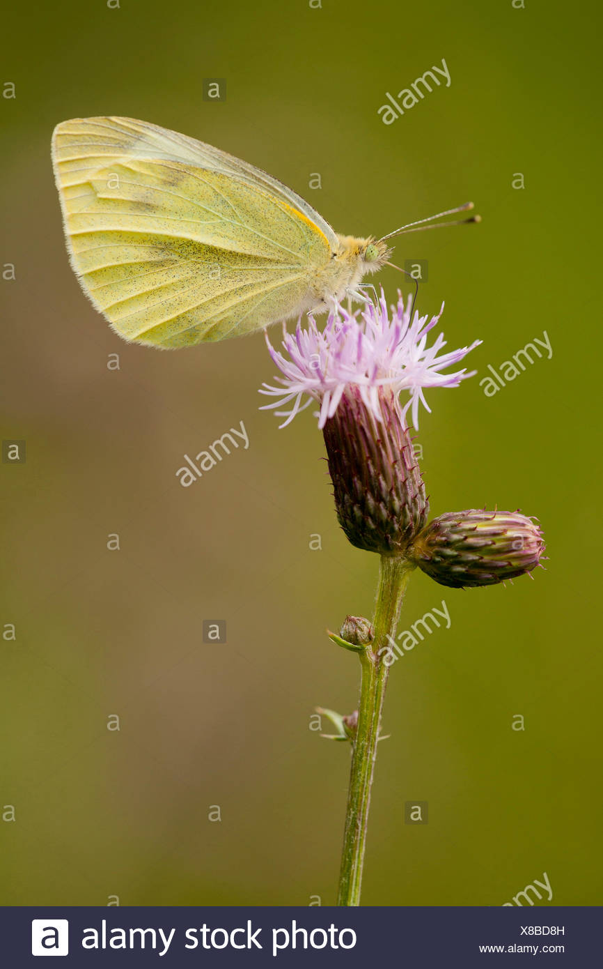 Small white, Cabbage butterfly, Imported cabbageworm (Pieris rapae, Artogeia rapae), on the flower head of a thistle, Germany, Thueringen - Stock Image
