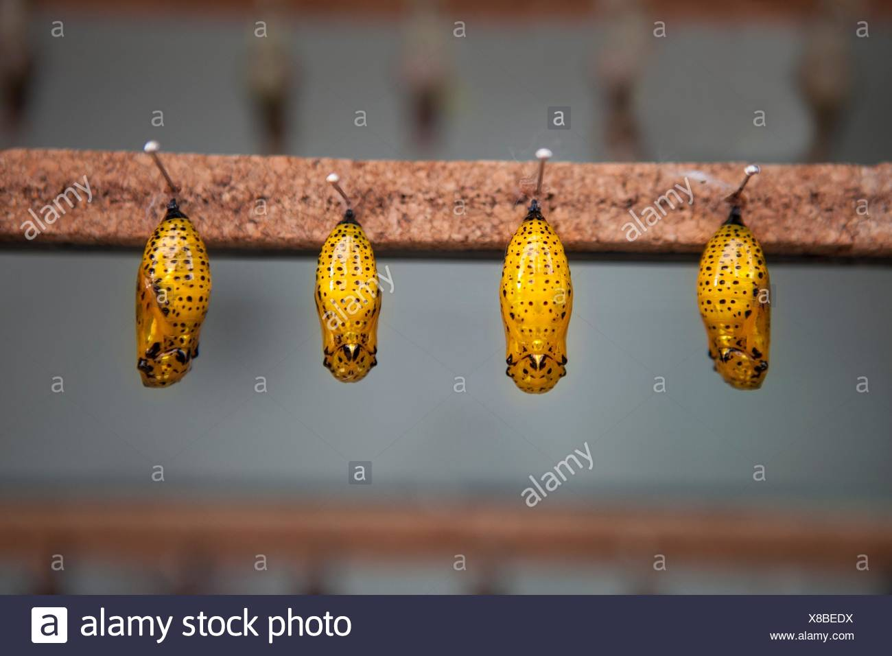 Four yellow pupas is hanging from pins. - Stock Image