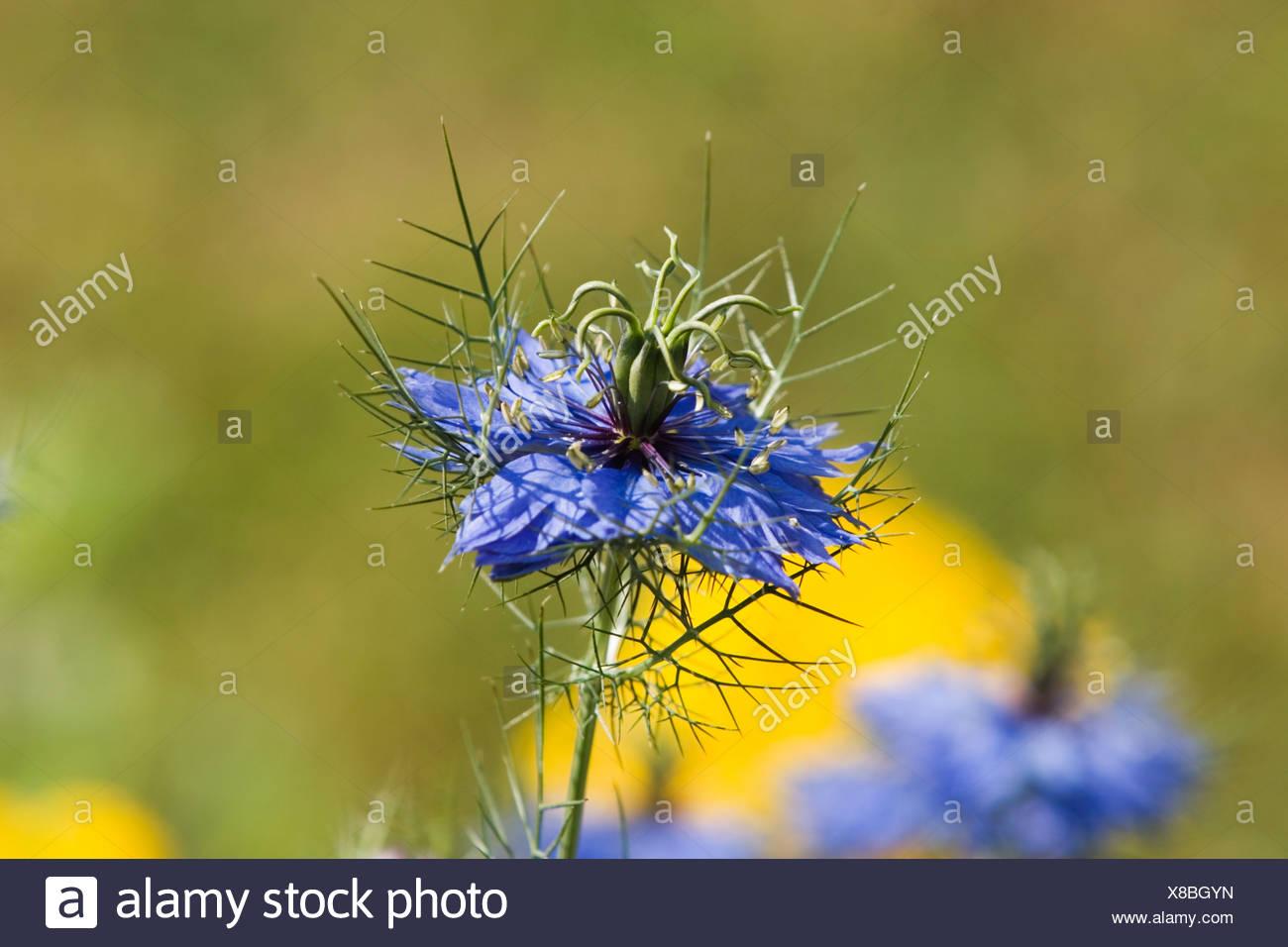 Love-in-a-Mist - Nigella damascena Miss Jeckyll - Ranunculaceae - Stock Image