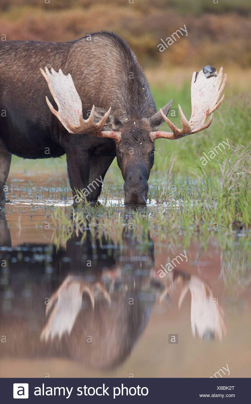 Bull moose walks through a pond in Denali National Park, Alaska - Stock Image