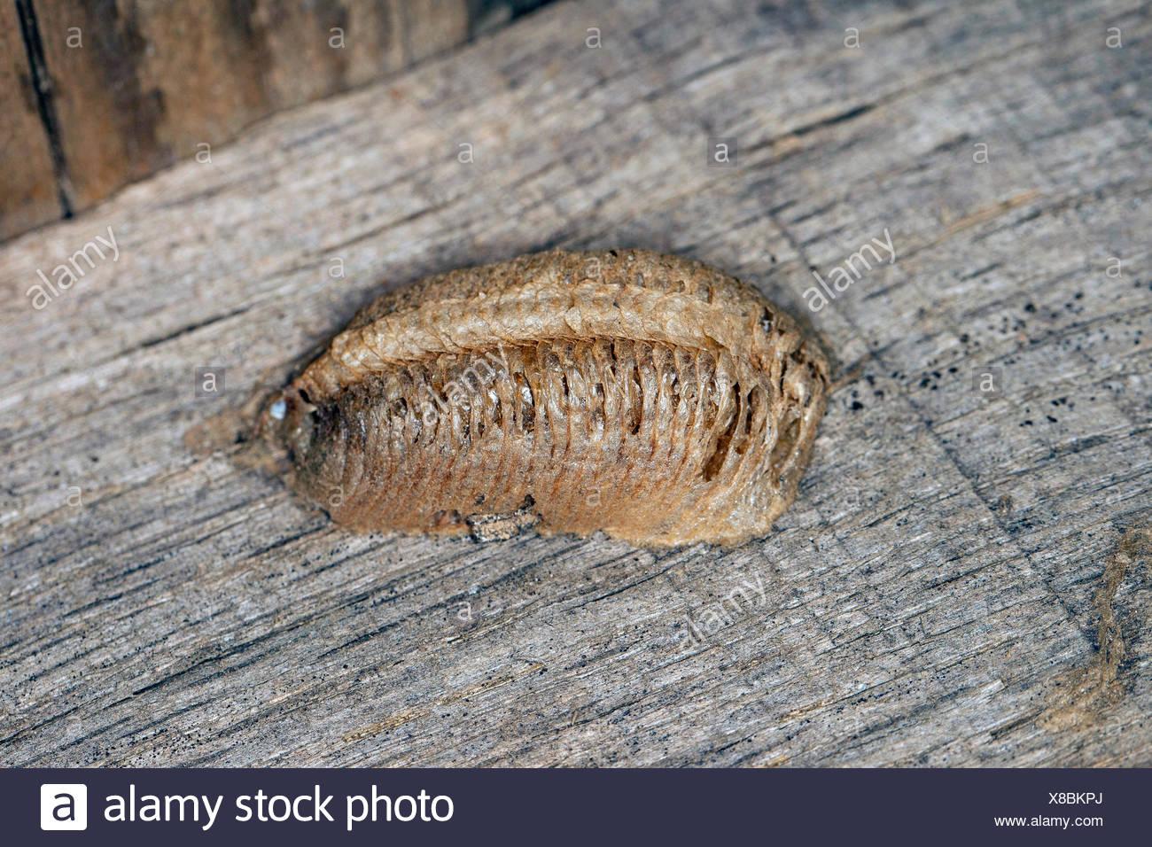 European preying mantis (Mantis religiosa), cocoon, Germany - Stock Image