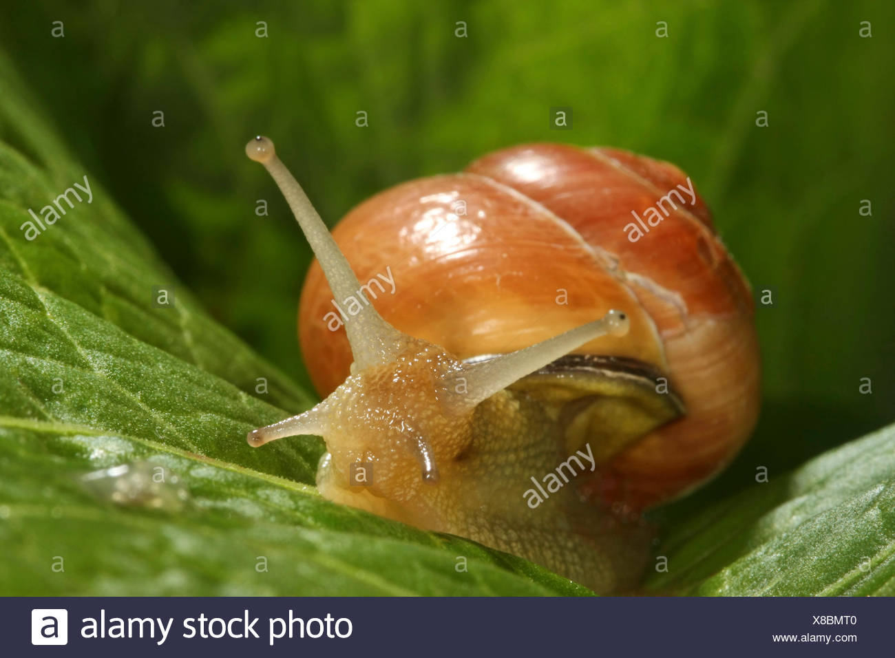brown-lipped snail, grove snail, grovesnail, English garden snail, larger banded snail, banded wood snail (Cepaea nemoralis), banded snail on a leaf, Germany - Stock Image