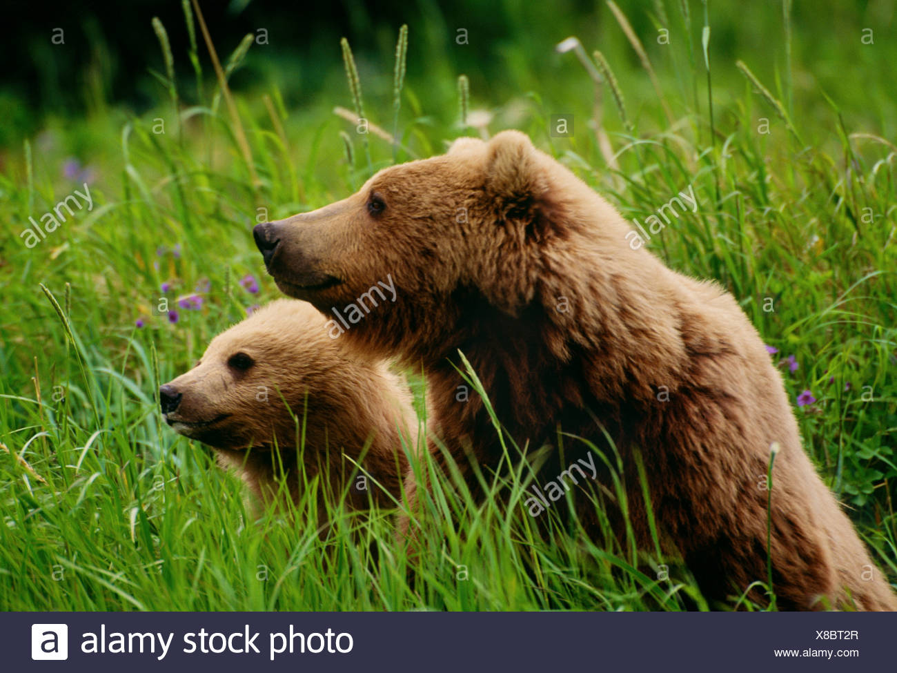 Brown bear and cub, McNeil River Bear Sanctuary, Alaska - Stock Image