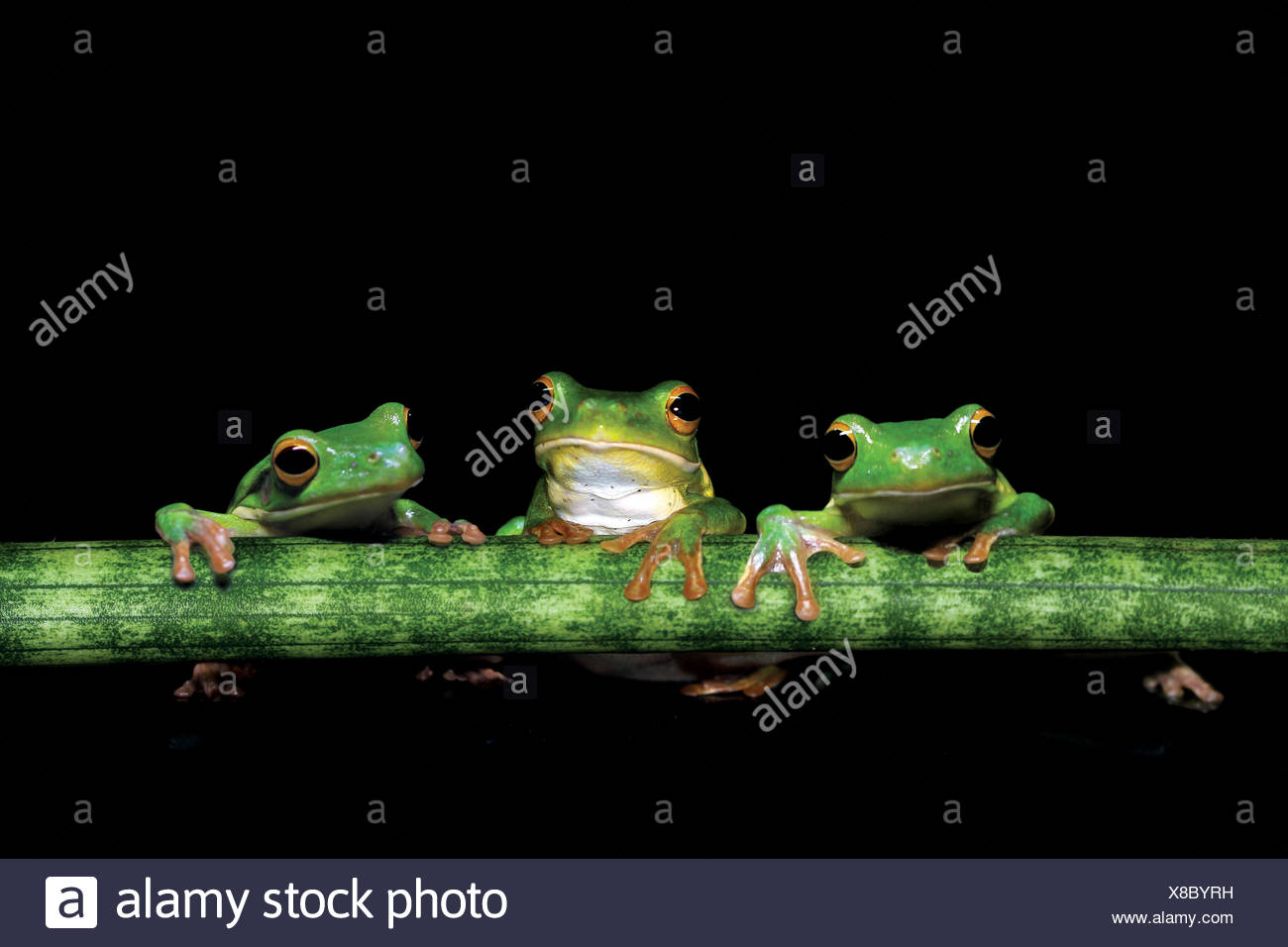 Three tree frogs holding onto a plant stem - Stock Image