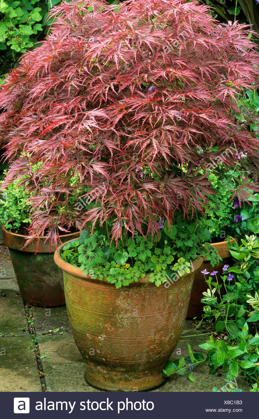 Acer Palmatum Dissectum In Ceramic Container Planter Pot Bronze