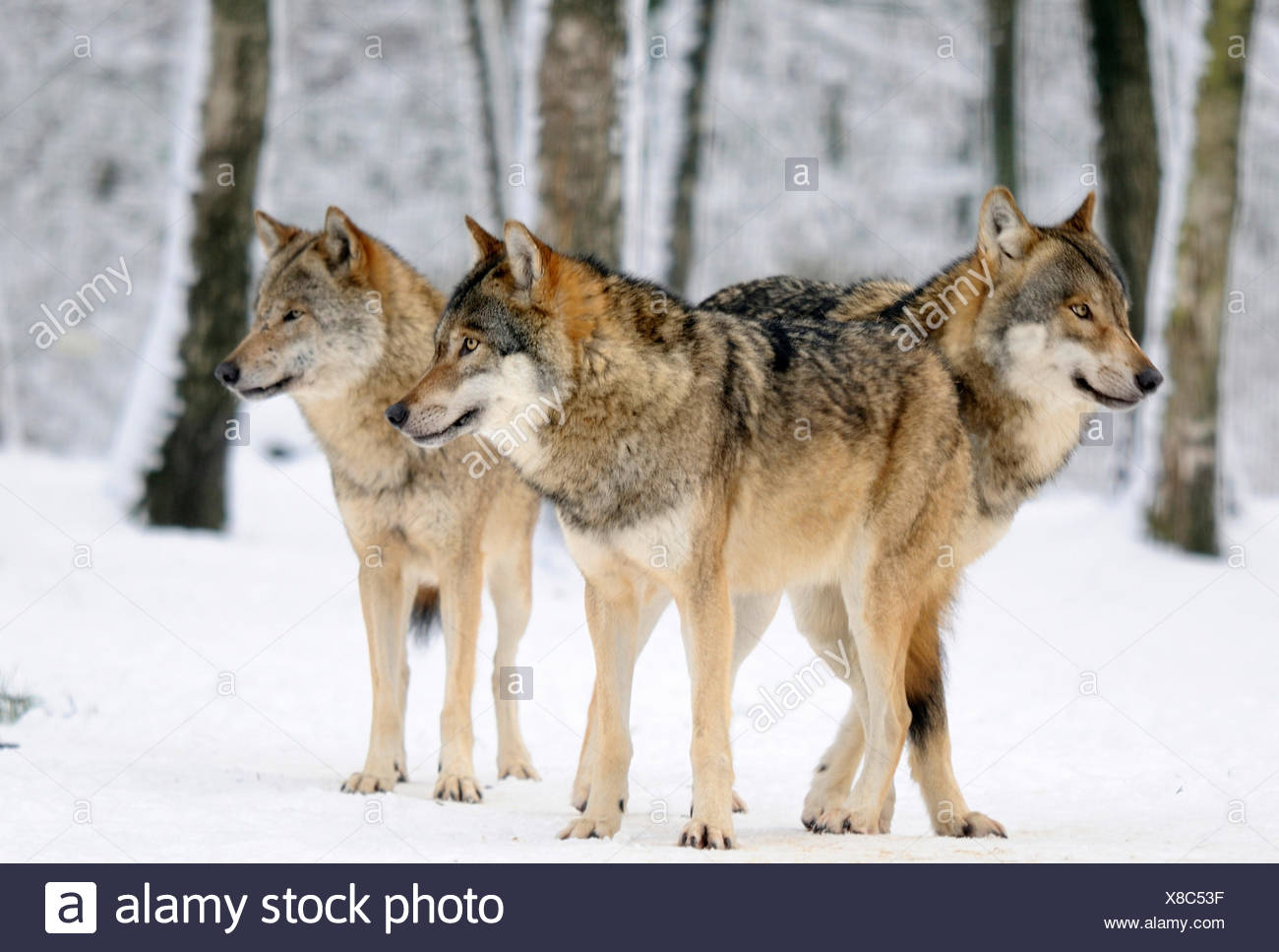 Wolf Germany european wolf canis lupus three wolves in winter landscape