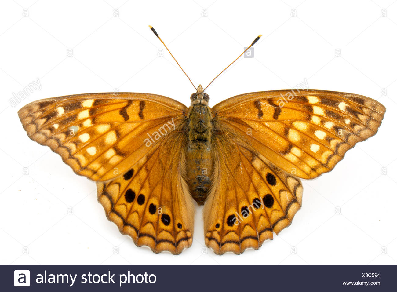Tawny Emperor Butterfly (Asterocampa clyton) Martin Dies Jr State Park, Jasper County, Texas, USA. - Stock Image