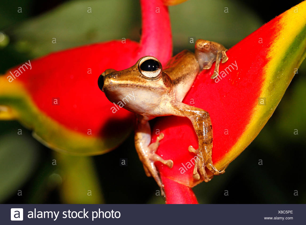 photo of a fourlined tree-frog on a Crab Claw Flower - Stock Image