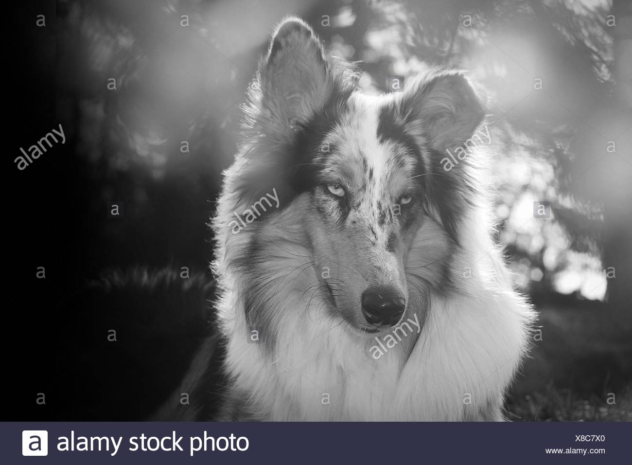 longhaired Collie portrait - Stock Image