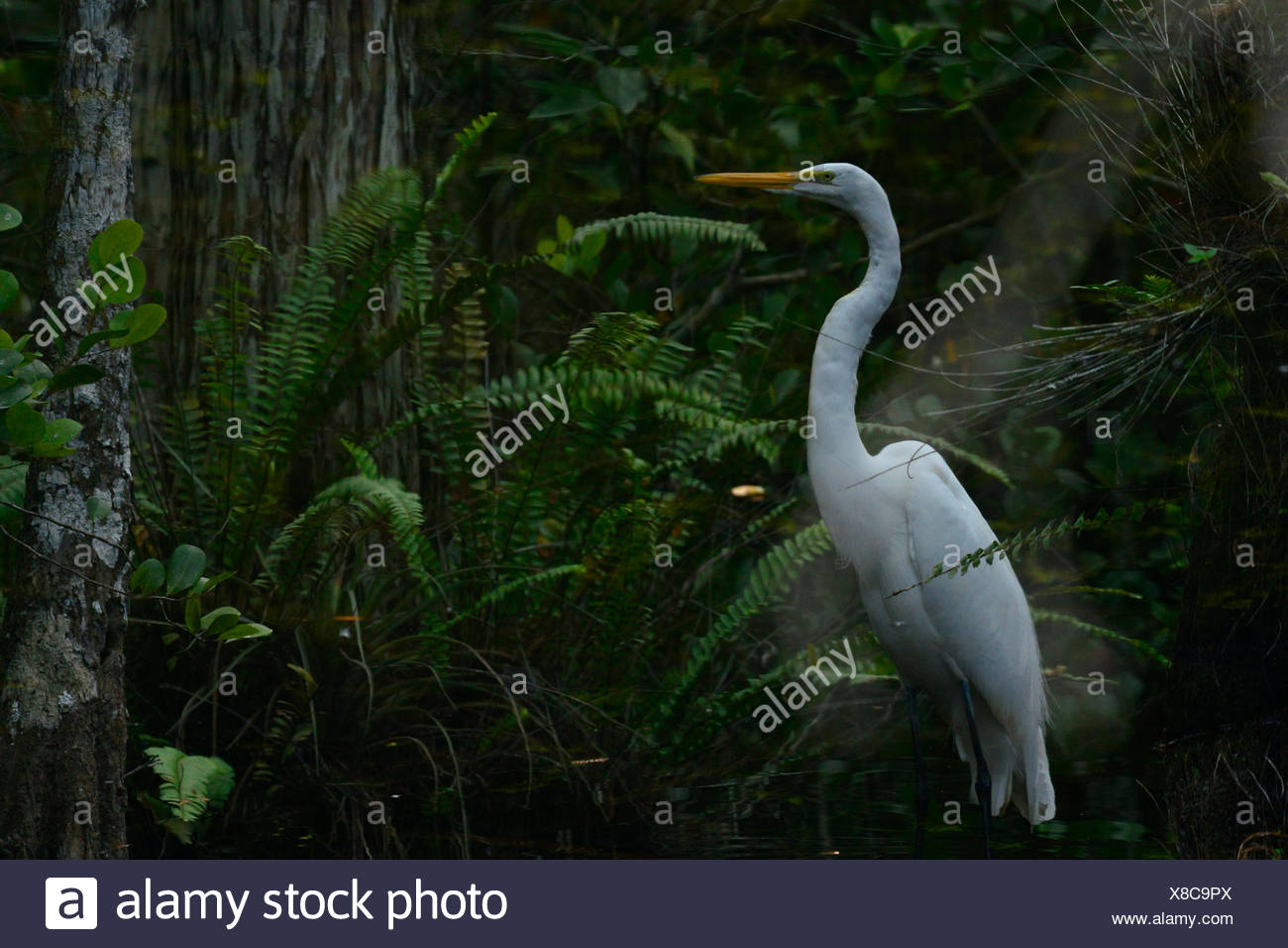 Reflection in water of a white heron. - Stock Image