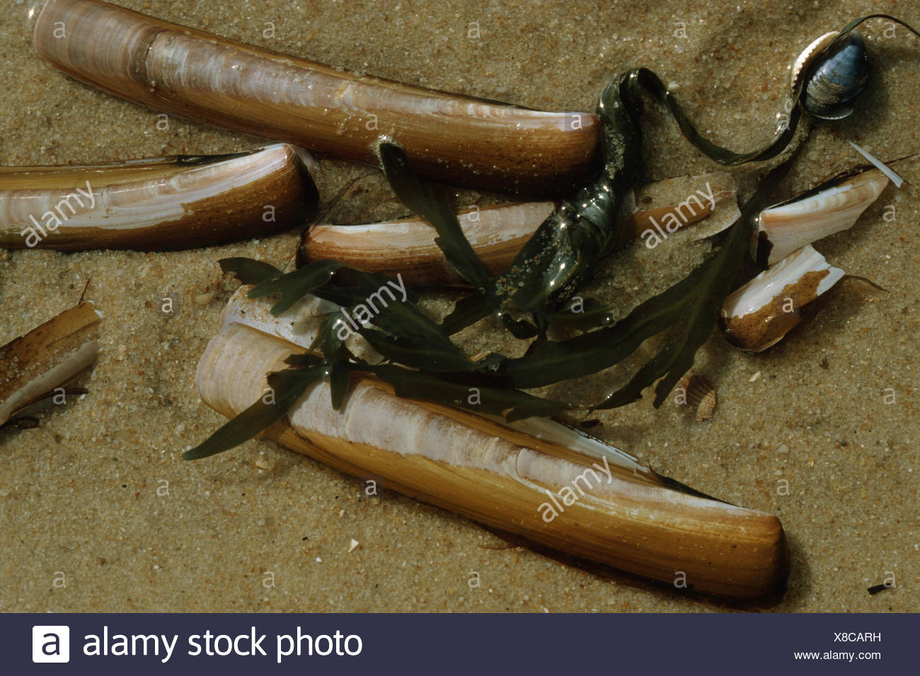 razor fish stock photos  u0026 razor fish stock images